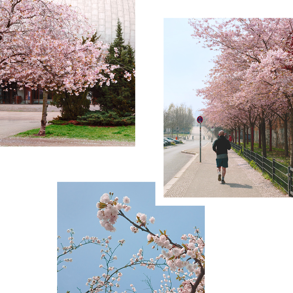 CHERRY BLOSSOMS SPOTTED: TOP FIVE VIEWING SPOTS IN BERLIN